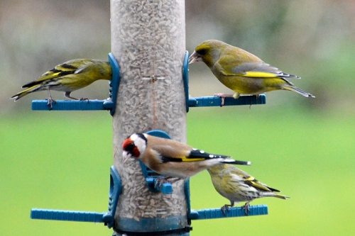 greenfinch, goldfinch and siskin