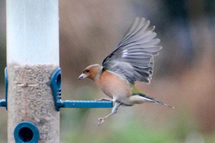 chaffinch approaching feeder