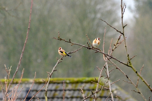 plum tree with goldfinches