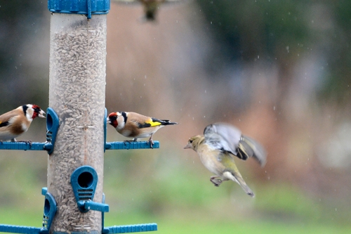 goldfinches and chafffinches
