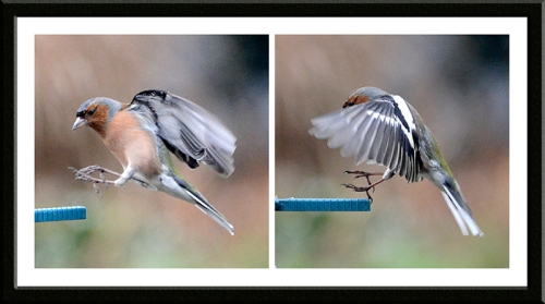 landing chaffinches