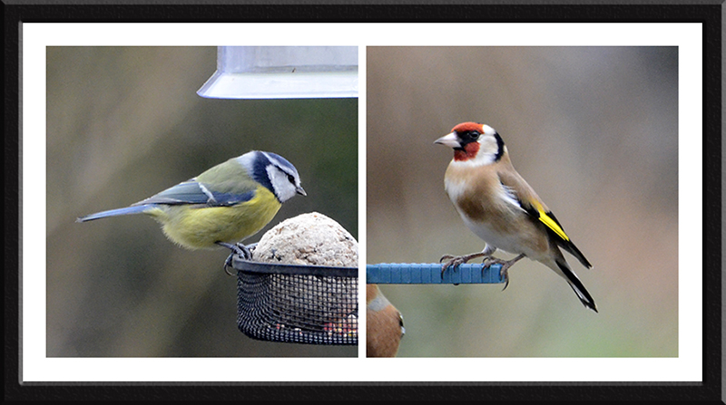 blue tit and goldfinch
