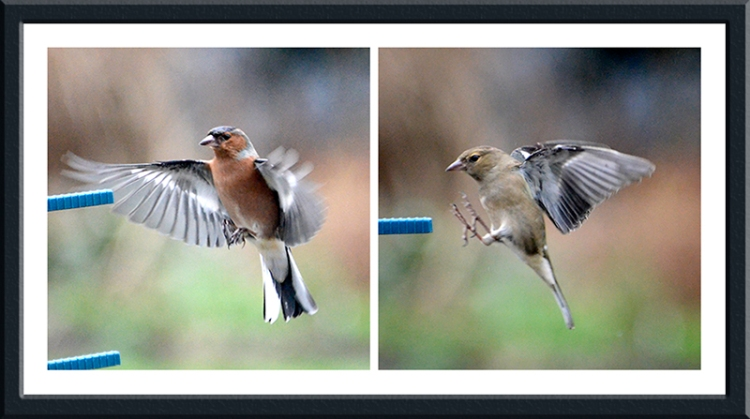 chaffinches landing