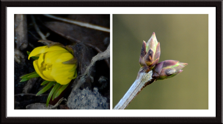 winter aconite and lilac