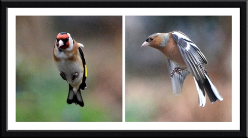 goldfinch and chaffinch flying