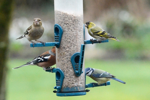 chaffinches, blue tit and siskin