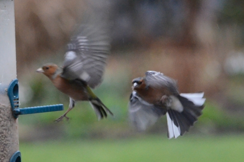flying chaffinches in rain