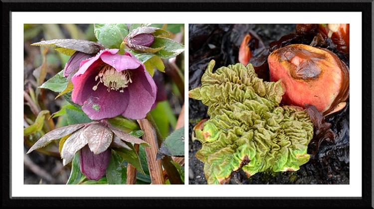 hellebore and rhubarb