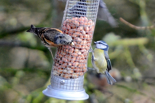 Brambling and blue tit