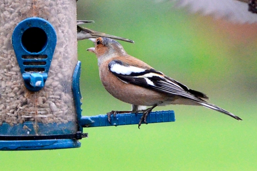 angry chaffinch