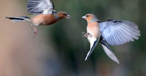 chaffinches flying