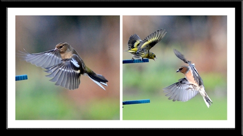 siskin and chaffinches