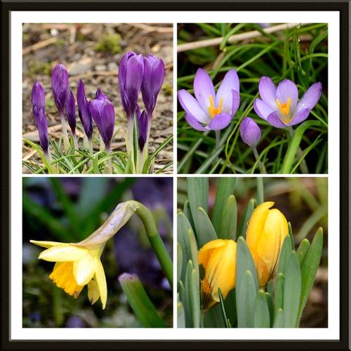 crocus daffodil