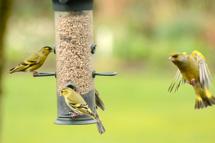 siskins and greenfinch