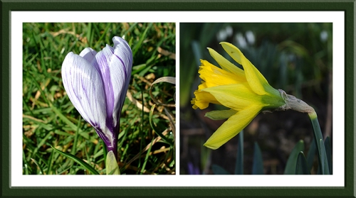 crocus and daffodil