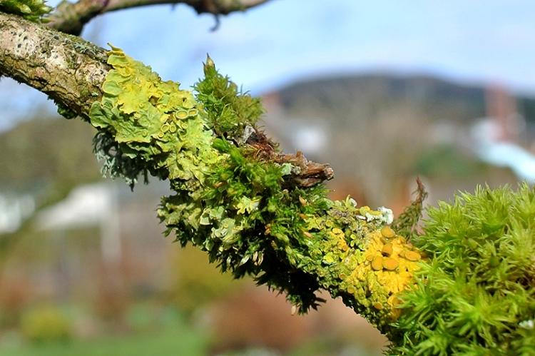 Elder lichen and moss