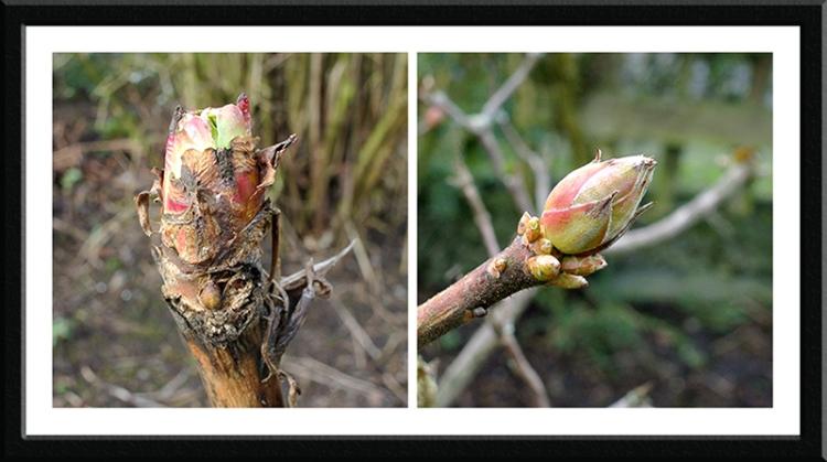 azalea and tree peony