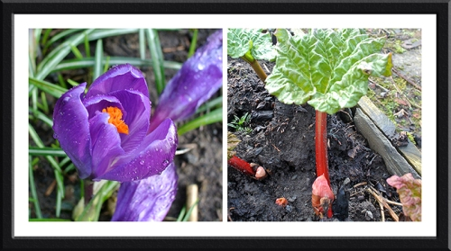 crocus and rhubarb