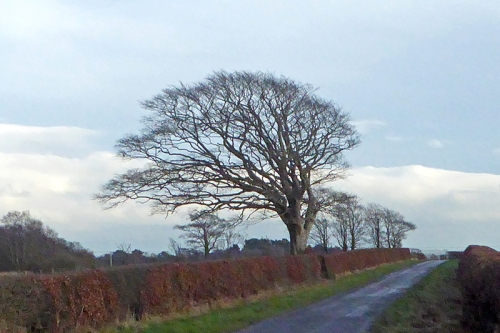 Tree near Chapelknowe