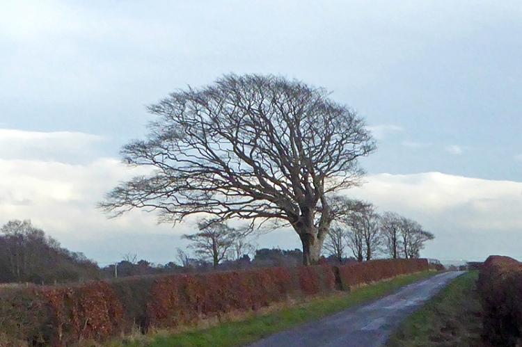 Tree near Chapelknowe