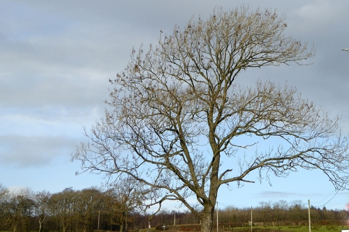 Eaglesfield tree