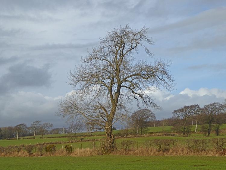 eaglesfield tree