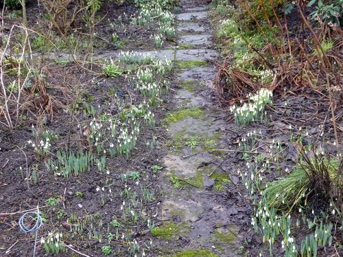 snowdrops in garden