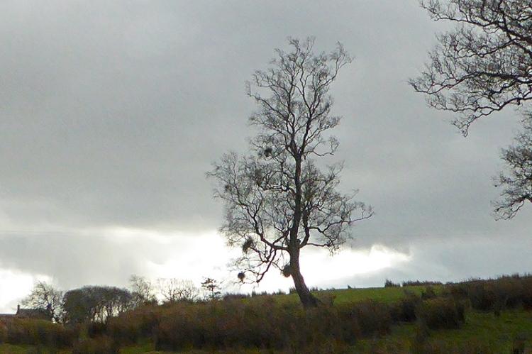 tree at wauchope school