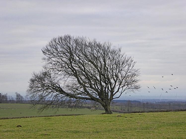tree at Tarcoon
