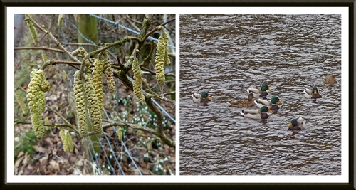 catkins and mallards