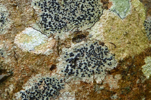 lichen on birch