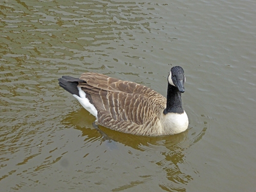 Manchester canal goose