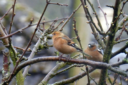 chaffinch with erythrism