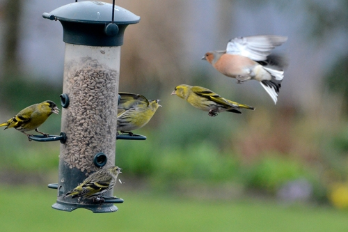 siskins and chaffinch
