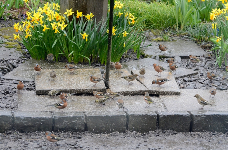 ground chaffinches