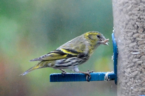 Eating siskin.