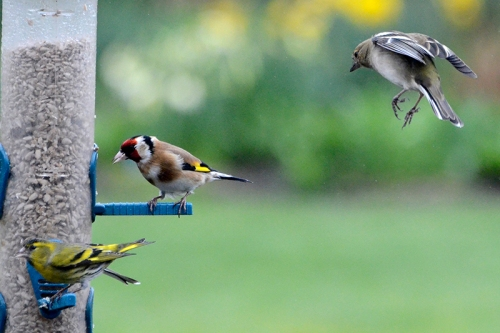 siskins, goldfinches and chaffinches