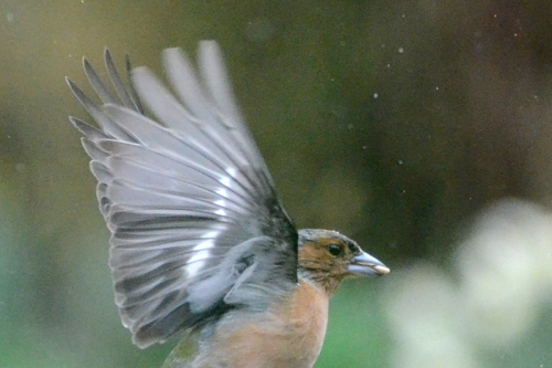 Chaffinch with seed.