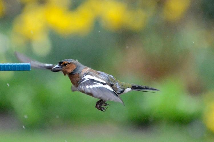 soggy chaffinch