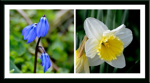 scilla and daffodil
