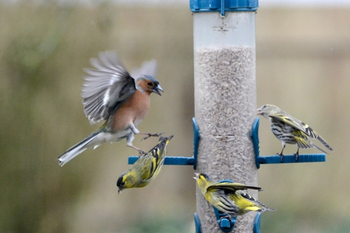 chaffinch and siskin squabble