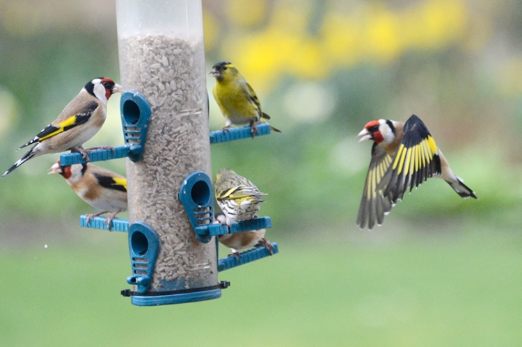 goldfinches and siskins