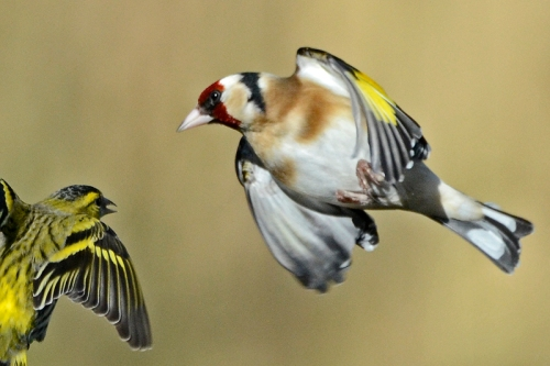 goldfinch and siksin