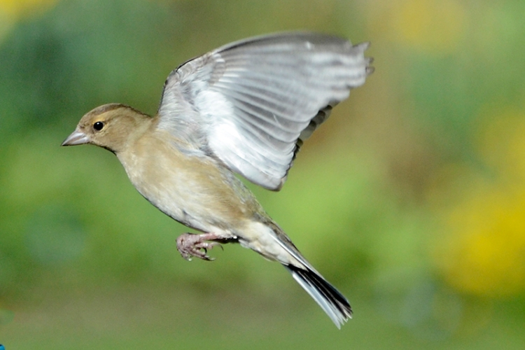 flying caffinch