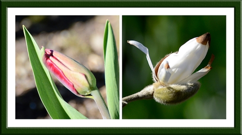 tulip and magnolia