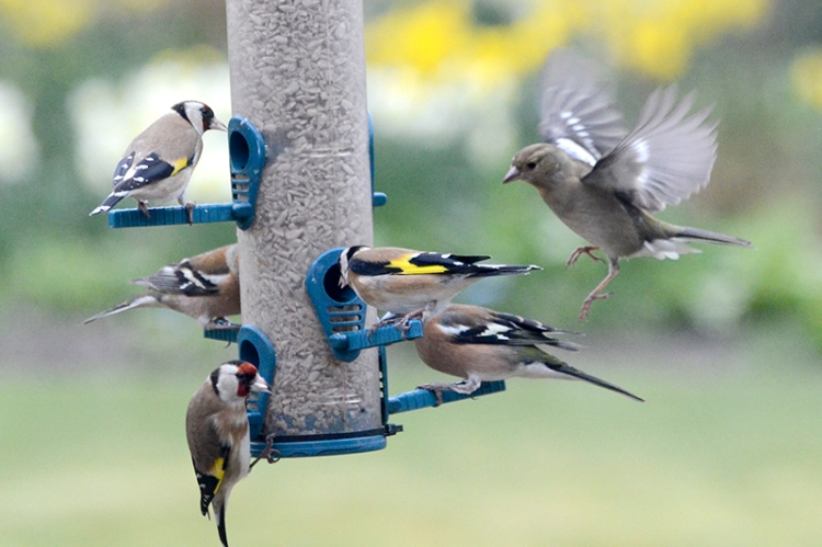 chaffinches and goldfinches