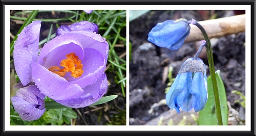 crocus and scilla