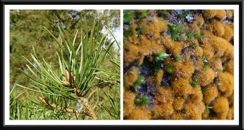 algae and conifer