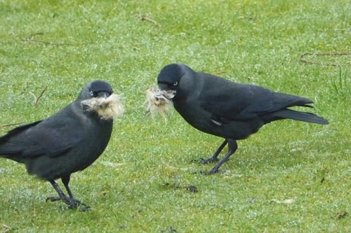 jackdaws with wool