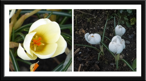 cream and white crocus